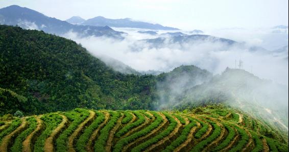 """阳光茶叶:打造高原生态健康""""黔正名茶""""品牌"""