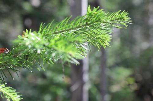 绿色醇净、健康呵护 揭开西伯利亚冷杉精华的神秘面纱