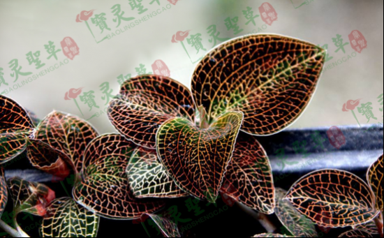 贵州中科农经生物科技有限公司 宝灵圣草种植技术成熟