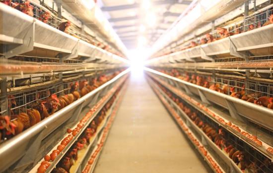 从鸡窝到发货只用24小时 农村淘宝打造鸡蛋供应链新标准