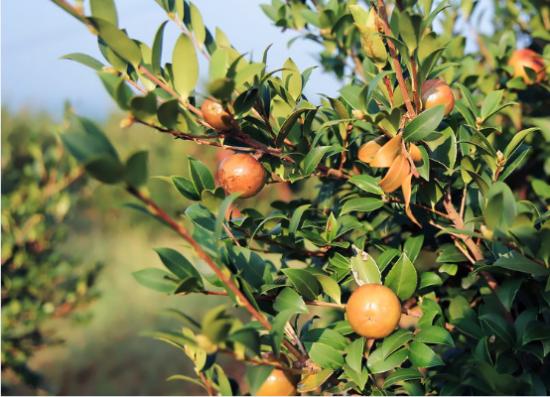 """一棵油茶树 22项专利 九展振兴民族品牌"""""""