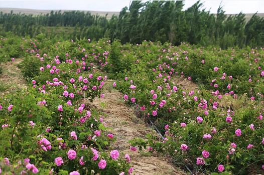 大马士革玫瑰精油——来自伊犁天伊芳源的精心挑选(栽种)